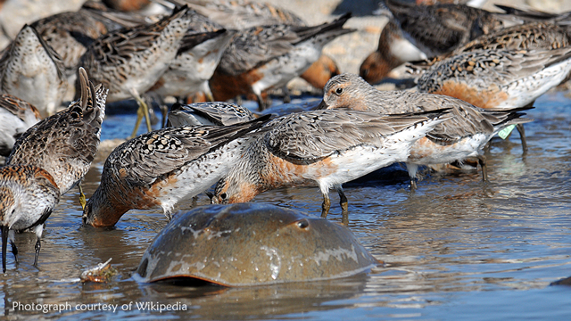 Red Knots eating Horseshoe Crabs