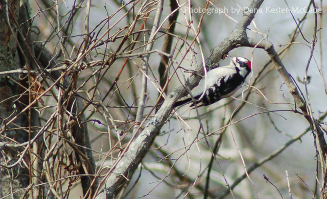 Downy Wood Pecker - Male